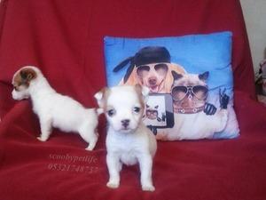 İsmetiye Mah. Jack Russel terrier ilanları