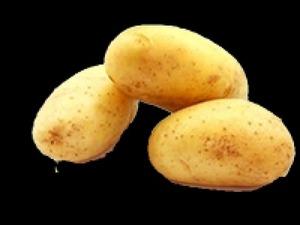 Satılık royal patates tohumu