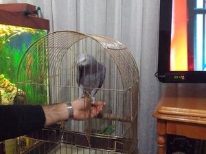 Afrika gri papağanı / jako papağanı Beşköprü Mah.