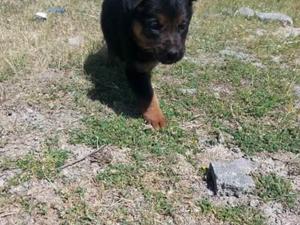 satılık alman kurdu yavru köpekler
