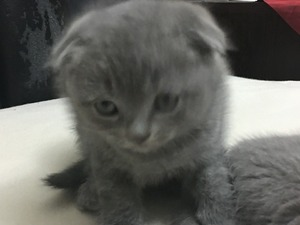 Scottish fold kedi Fatih