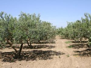 Saruhanlı/Manisa'da 15 ile 50 yaşlarında 1200 adet yetişmiş gemlik zeytin ağacı