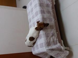 Jack Russel terrier Dişi Dereağzı Mah.