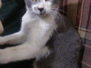 Diğer kedi ırkı Erkek 600 Evler Mah.