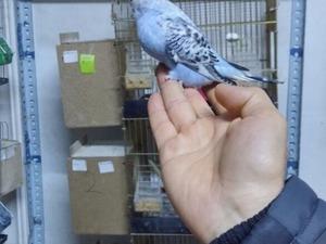 Diğer muhabbet kuşu Dişi ve Erkek Muhabbet
