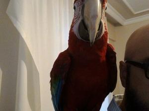Kırmızı ara papağanı ilanları