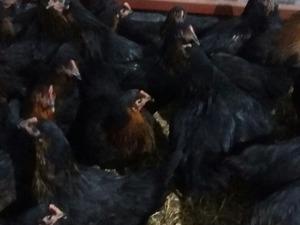 Büyükakçaalan Köyü hayvanlar fiyatları