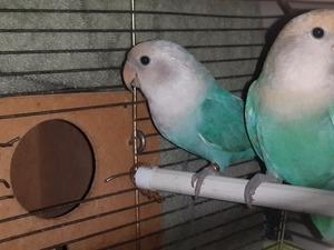 Cennet papağanı ilanı