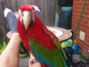 Sahibinden Kırmızı ara papağanı Papağan fiyatları