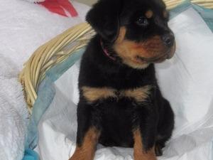 köpek Rottweiler fiyatları