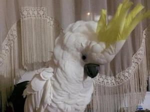 Dişi ve Erkek Papağan Gümüşhacıköy