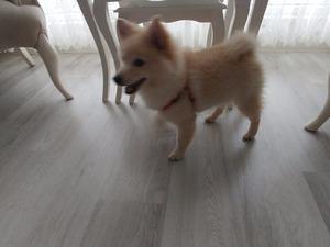 Pomeranian İshaklı Mah.