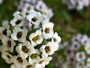 alisyum - kuduz otu çiçeği