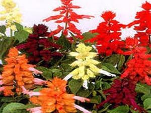 Satılık ateş çiçeği tohumu