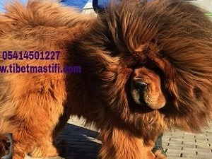 Diğer köpek ırkı 1 TL Altınşehir Mah.