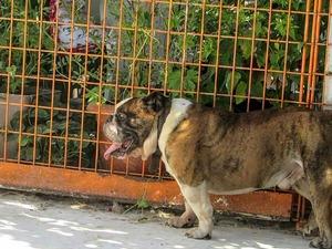 Mollaarap Mah. English bulldog ilanları