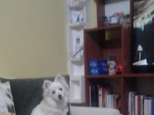 Spitz Erkek köpek