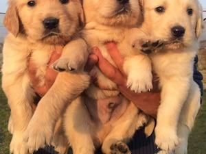 Golden retriever köpek Kadıköy