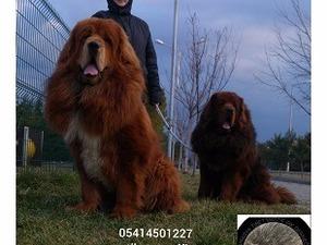 köpek Diğer köpek ırkı fiyatları