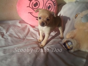 Aşılı Chihuahua
