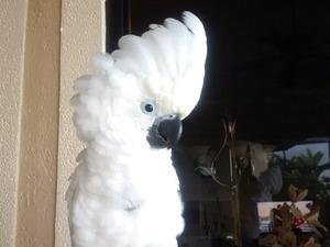 Sülfür kakadu papağanı Sahibinden 800 TL
