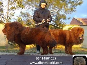Diğer köpek ırkı Altınşehir Mah.