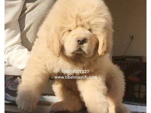 Diğer köpek ırkı yaş 0-3 Aylık Altınşehir Mah.