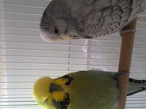 Jumbo / Show jumbo muhabbet kuşu Dişi ve Erkek Süvari Mah.
