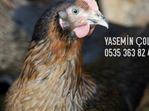 Arnavutköy Merkez Mah. hayvanlar fiyatları