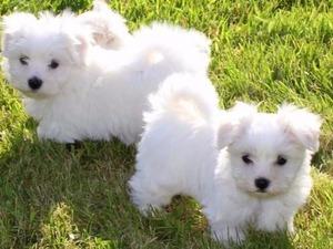 Maltese terrier Dişi ve Erkek köpek