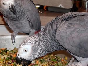Sahibinden Afrika gri papağanı / jako papağanı Papağan fiyatları