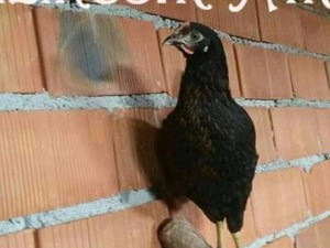 Büyükakçaalan Köyü hayvanlar ilanı