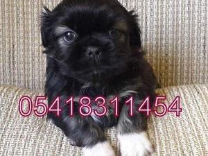 köpek Pekinez fiyatları