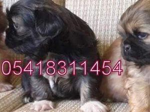 Çamiçi Köyü köpek ilanı
