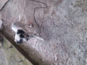 Diğer köpek ırkı yaş 3-6 Aylık Karşıyaka Mah.
