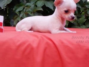 Chihuahua yaş 0-3 Aylık Çırpan Mah.