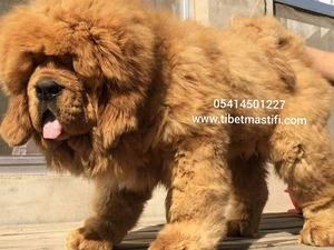Diğer köpek ırkı köpek Nilüfer