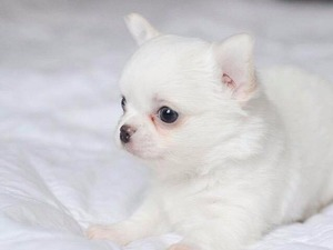 Chihuahua yaş 0-3 Aylık