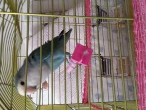Diğer papağan Fevzi Çakmak Mah.