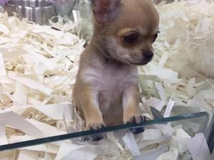 Chihuahua Dişi ve Erkek Çengelköy Mah.
