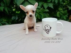 Çırpan Mah. Chihuahua ilanları