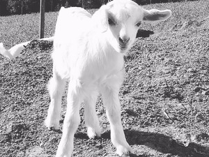 Ocaklı Köyü hayvanlar ilanları