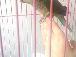 Diğer papağan Sahibinden 750 TL