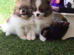 Pomeranian 1 TL Çengelköy Mah.