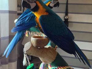 Sarı mavi ara papağanı 6-12 Aylık