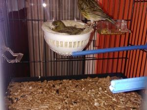 Diğer kanarya kuşu Güngören