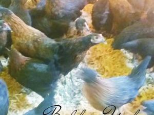 Çardak Köyü hayvanlar ilanı ver