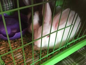 Diğer tavşan ırkı Sahibinden 0 TL