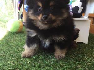 Pomeranian yaş 0-3 Aylık