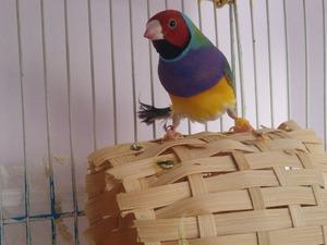 Sahibinden Erkek Finch kuşu Velibaba Mah.